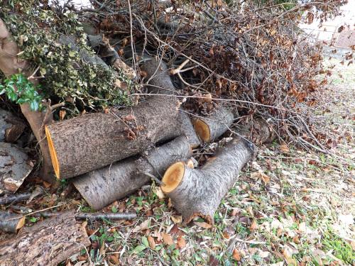 根元に置かれた切られた桜の木