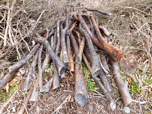 乾燥してそうなヒメシャラの木