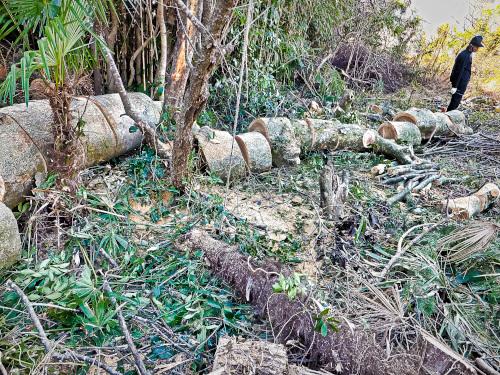 伐採したケヤキの大木