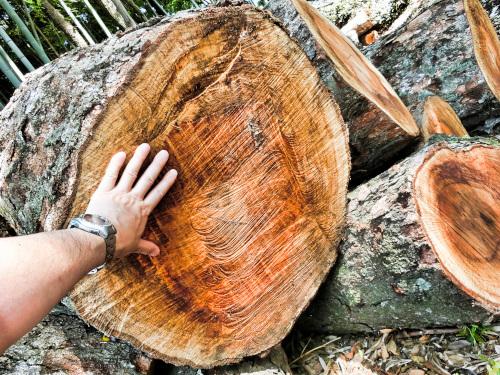 径が大きい樫の木
