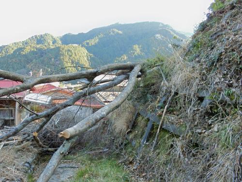 切り倒されたケヤキの木