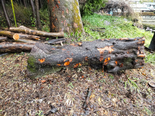 太い桜の幹の部分