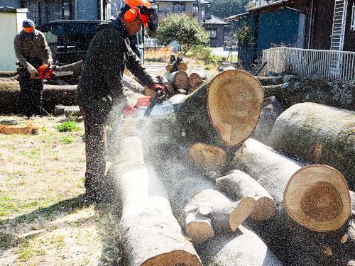 ケヤキの大木を切る
