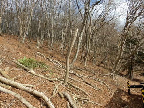 これから伐採する木