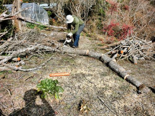 梅の木を切る