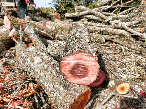 切り口が紅い木