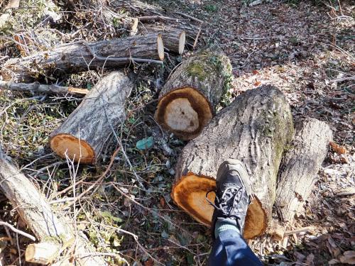 太いクヌギの木