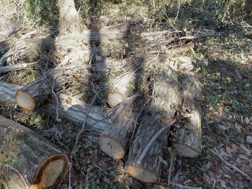 沢山あるクヌギの木
