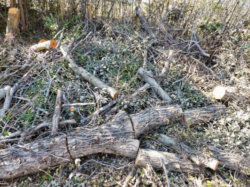 伐採されたクヌギの木