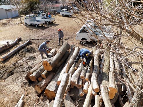 太い木を切る