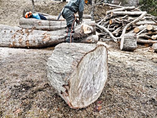 太い木を玉切る