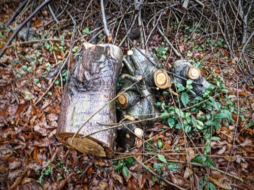 伐採された栗の木