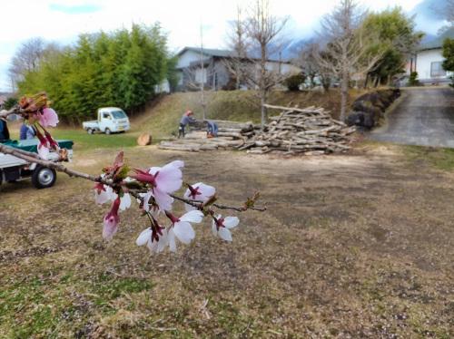 薪狩り現場の桜